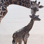 Cincinnati Zoo welcomes new baby giraffe