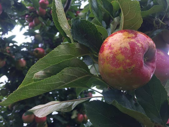 A Gala apple hangs from a limb at Wilklow Orchard. It's one of many apples that are in season.