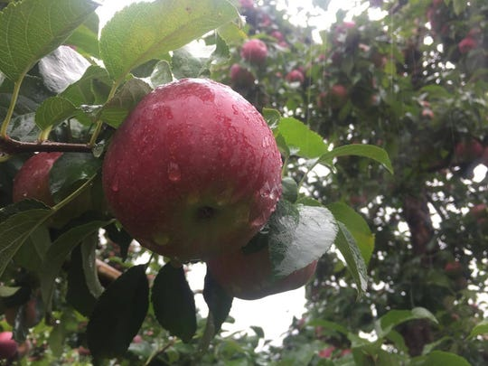 An apple hangs from a limb at Wilklow Orchard in Highland.