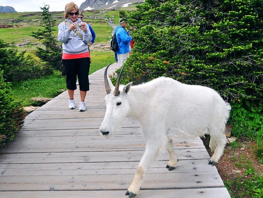 A tourist snaps a photograph of a mountain goat crossing