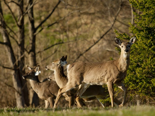 Deer congregate in a field in Cayuga Heights, Tompkins