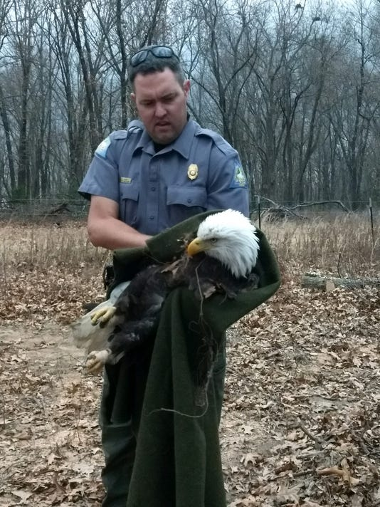 636493659918587515-Eagle-caught-in-trap.jpg