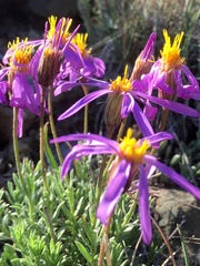 Wildflowers blooming at the Sheldon National Wildlife Refuge on June 9, 2015.