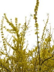 A Forsythia bush blooms in late February in a previous spring.