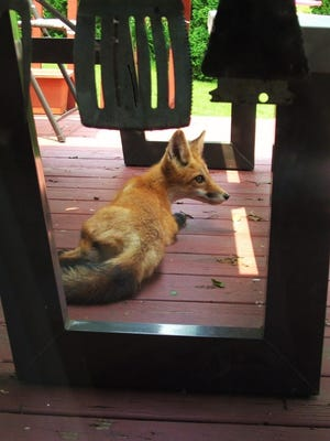 This beautiful red fox relaxed beneath a picnic table on a residential deck last week along Scales Bend Road in North Liberty.