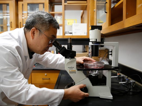 Teng Ma, a professor and chair of the Department of Biomedical Engineering at FSU, looks at STEM cells in his lab at FSU's College of Engineering Tuesday, April 24, 2018. Ma is part of a research effort looking at cell therapy as a treatment for stroke.
