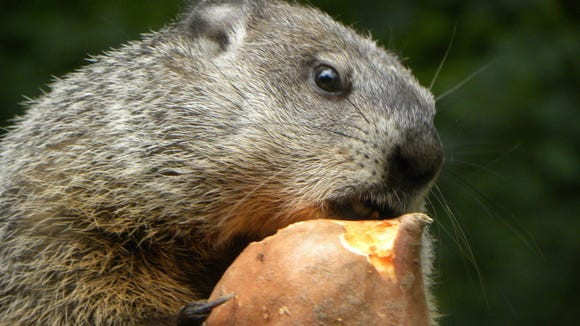 Grady the Groundhog did not see his shadow this morning at Chimney Rock Park, signaling an early spring.