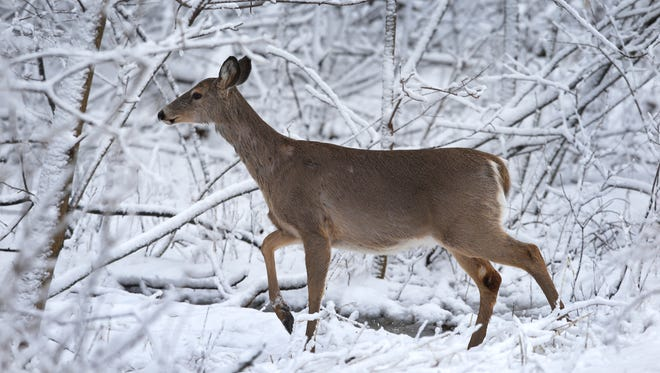 A white-tailed deer forages for food April 14, 2014, at the Heckrodt Wetland Reserve in Menasha.