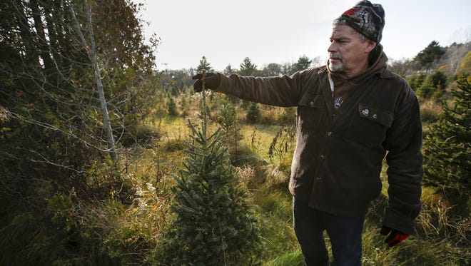 Owner Keith Taylor shows the amount of new growth on one of his Blue Spruce trees at Taylor's Trees Wednesday, Nov. 8, 2017, in Mishicot, Wis. Josh Clark/USA TODAY NETWORK-Wisconsin