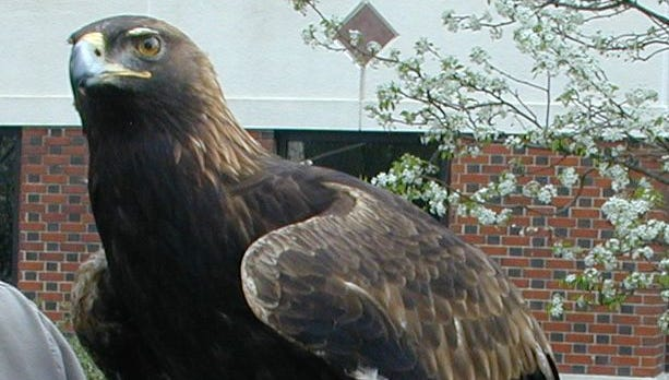 File photo shows Auburn University mascot, Tiger, War Eagle VI.