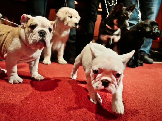 A bulldog, a golden retriever, a French bulldog, a