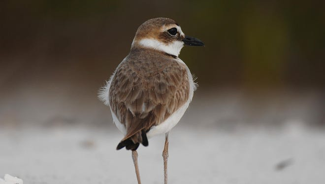 A wilsons plover loafs on the south end of Fort Myers Beach.