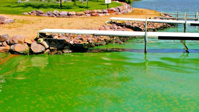 An algal bloom grows along the shores of the Wisconsin River near Merrimac.