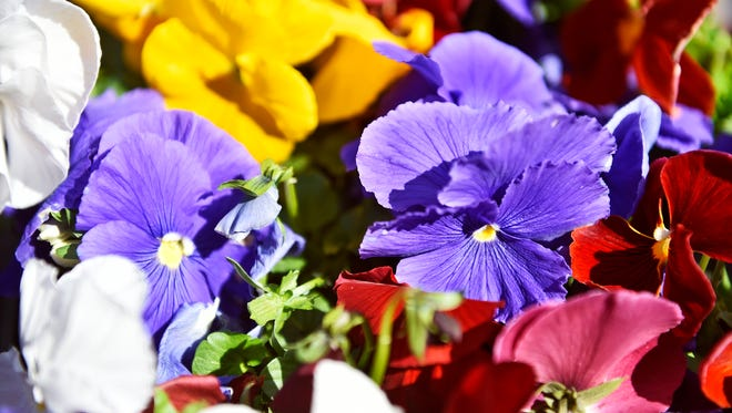 A flat of pansies awaits planting in Continental Square Wednesday, in York, by the Garden Club of York.