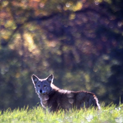 A coyote pauses as it trots away from it's resting place in the sun near 63rd Street and River Parkway Friday, Oct. 21, 2016, in Wauwatosa, Wisconsin. Coyotes are native to southeastern Wisconsin and a vital part of the ecosystem.