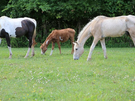 Horses three weeks into their rehab are seen grazing Saturday at Redemption Road Rescue.