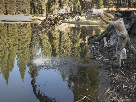 Andrew Kelly releases California golden trout into Lower Balch Park Pond. Tulare County Parks and Recreation officials announced the park will not reopen to the public at its usual time this summer.