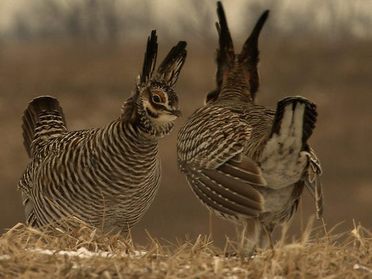 "Two male greater prairie chickens square off in a lek in Missouri. ""Battle on the Booming Grounds"" is a one-hour film about the American tall grass prairie and the decline of a signature bird species, the greater prairie chicken."