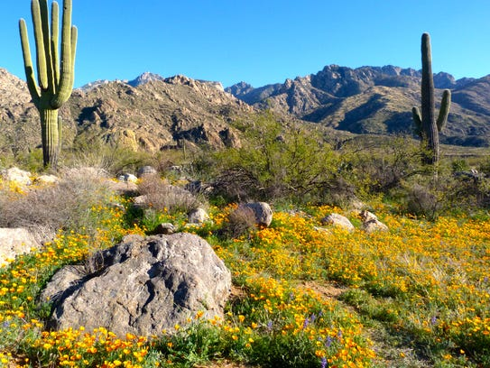 The best display of wildflowers in Catalina State Park