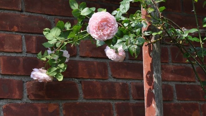 Strong fragrance in addition to beautiful blossoms double the pleasure of Strawberry Hill rose, from rose breeder David Austin, in New Paltz, N.Y. (AP Photo/Lee Reich)