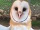 Staff at the Ojai Raptor Center knew a barn owl injured