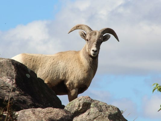 636072050933023304-Rocky-Big-Horn-Sheep.jpg