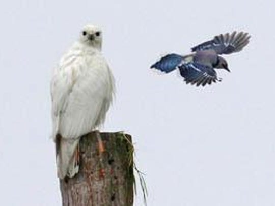 A blue jay and a leucistic red-tailed hawk spotted in Clinton Corners.