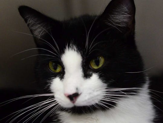 Mercy - Female domestic short hair, about 1 year. Intake
