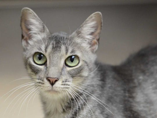 Trinket - Female domestic short hair, adult. Intake