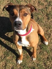 Cumberland Valley Animal Shelter is looking for a home for Lucy, a lively one-year-old boxer mix.