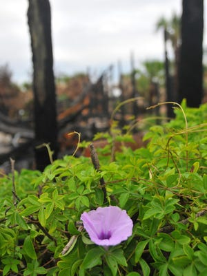 A purple bloom among the charred remains of Pumpkin Center.