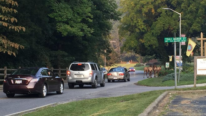 Traffic stops for a group of elk on U.S. 441 in Cherokee. Residents in communities outside Great Smoky Mountains National Park have complained that elk are trampling on yards and grazing in gardens.
