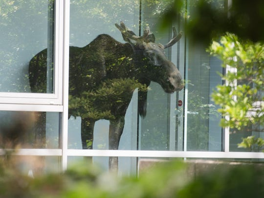 A young moose stands behind a window in an administration building of Siemens in Dresden, Germany, on Aug. 25.