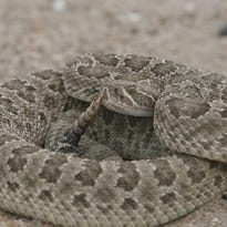 Rattlesnake plunges from tree into Anderson man's kayak, who was then bitten multiple times