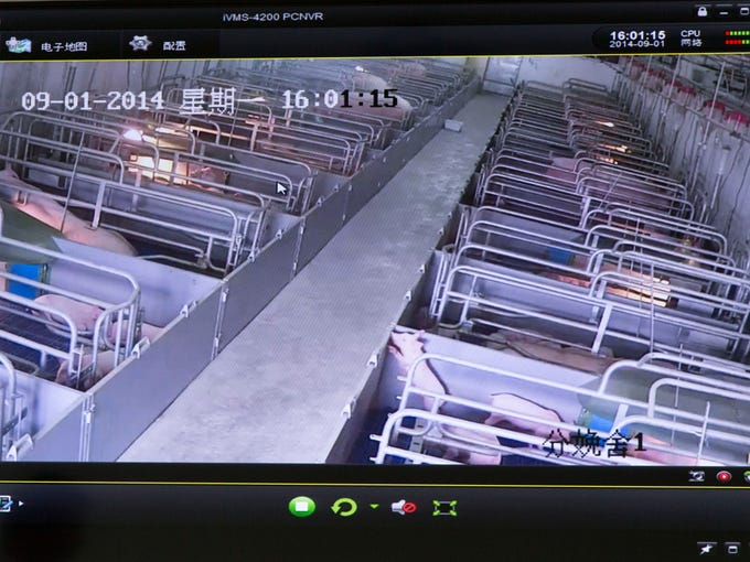 Video feed of the farrowing stalls of Shang Hai Farms'