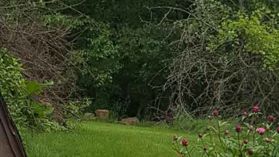 Multiple bear sightings were reported within Dubuque city limits on Monday morning, according to Dubuque police, including this sighting on the outskirts of a lawn on Julien Dubuque Drive. Nate Johnson with the Iowa Department of Natural Resources says tracks found behind a home on the south side of the city belong to a black bear weighing between 100 and 200 pounds.