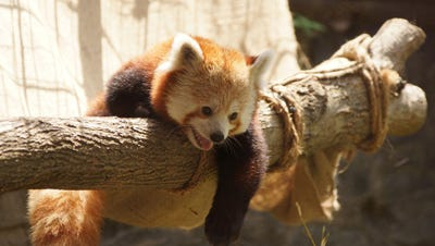 Adopt a red panda for your stocking stuffer.