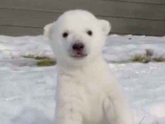 polarcubsnow