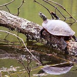 Eastern painted turtles like to bask in the sun on logs.