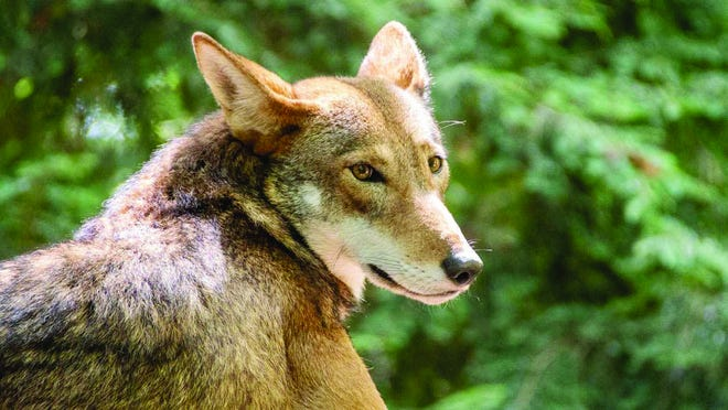 Here's a grown red wolf at the NC Zoo.