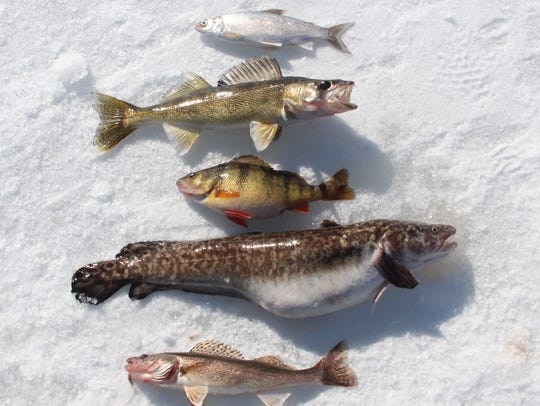 A selection of fish caught on an ice fishing outing on Lake of the Woods, Minnesota included (top to bottom) tulibee, walleye, yellow perch, burbot and sauger.