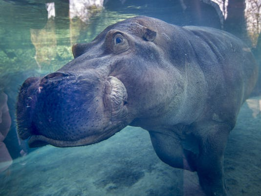 March 9, 2017: Hippos, Fiona, Cincinnati Zoo and Botanical Garden, Henry and Bibbi, Liz Dufour