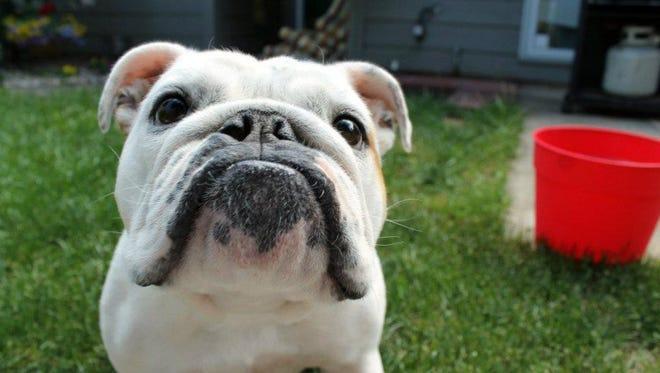Juliet is an English bulldog who doubles as a greeter at the Waterbury Inn, Ephraim.