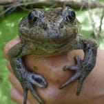 Threatened red-legged frogs jump another hurdle