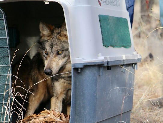An endangered Mexican gray wolf exits a dog carrier