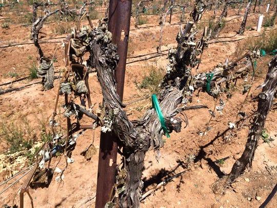 An April freeze damaged vineyards in the Elgin area.