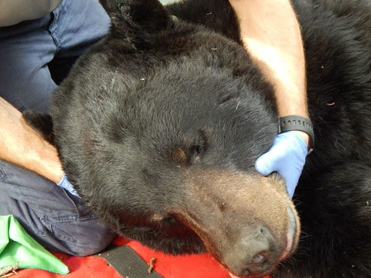 A 527-pound adult male bear was captured just southwest