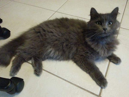 Ni Kitty, a female gray longhair cat, remains missing