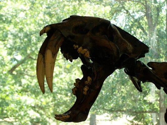 635877788823455572-1--Earlham-Joseph-Moore-museum-smilodon-sbare-tooth-cat.jpg