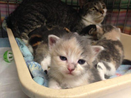 An abundance of kittens at the Cumberland County SPCA